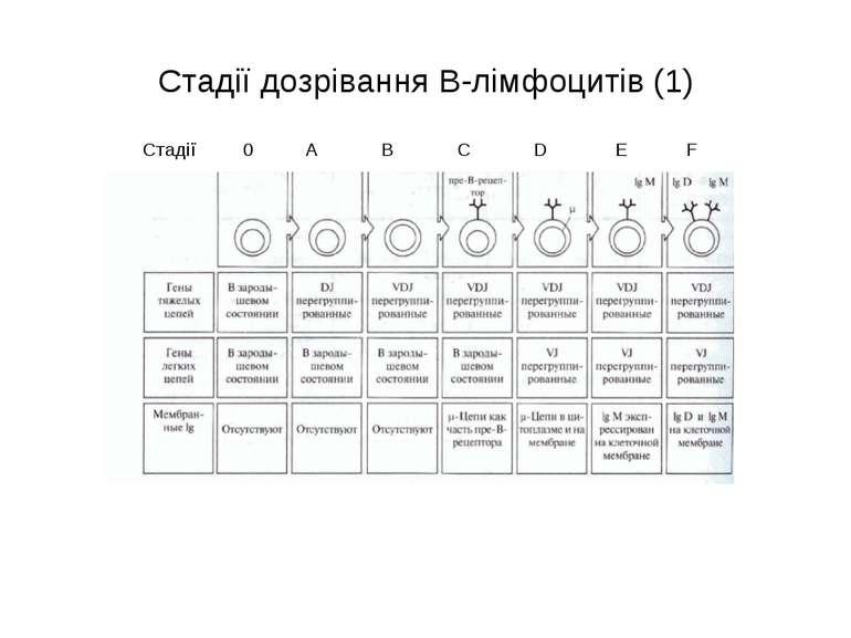 Стадії дозрівання В-лімфоцитів (1) Стадії 0 A B C D E F