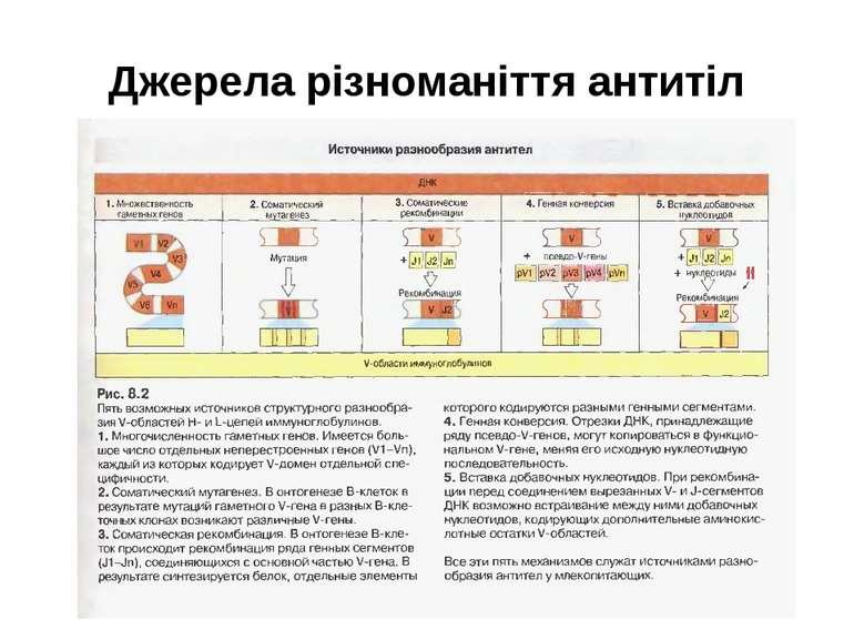 Джерела різноманіття антитіл
