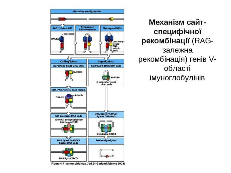 Механізм сайт- специфічної рекомбінації (RAG-залежна рекомбінація) генів V-об...