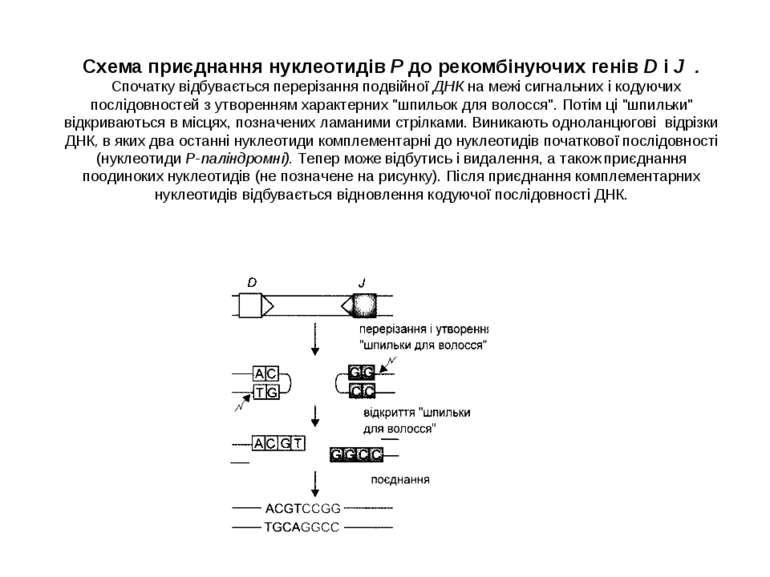 Схема приєднання нуклеотидів Р до рекомбінуючих генів D і J . Спочатку відбув...