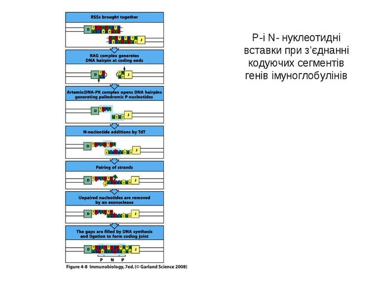 P-i N- нуклеотидні вставки при з'єднанні кодуючих сегментів генів імуноглобул...