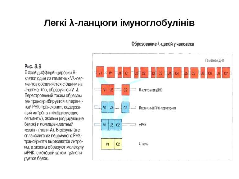 Легкі λ-ланцюги імуноглобулінів