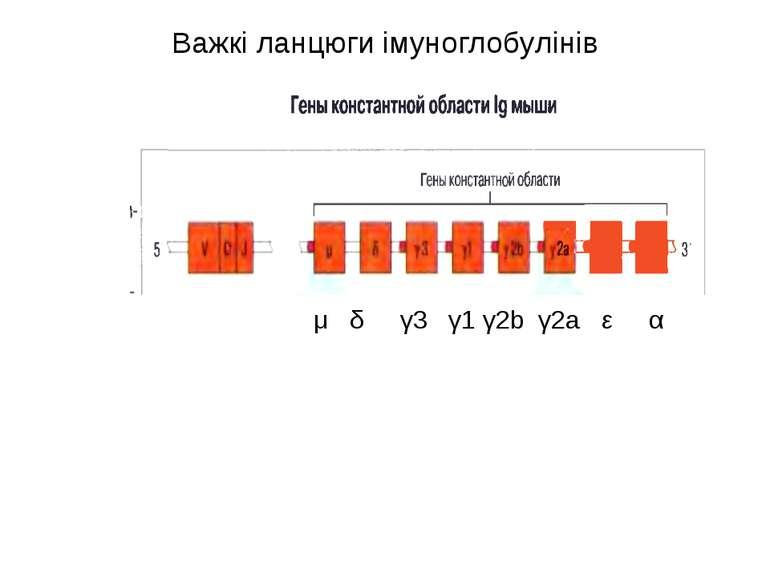 Важкі ланцюги імуноглобулінів μ δ γ3 γ1 γ2b γ2a ε α