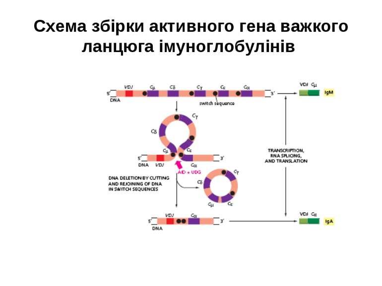 Схема збірки активного гена важкого ланцюга імуноглобулінів