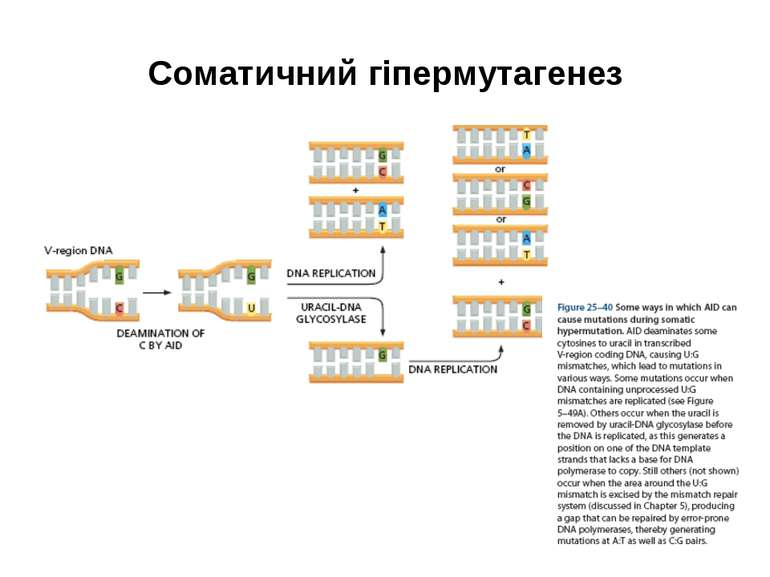 Соматичний гіпермутагенез