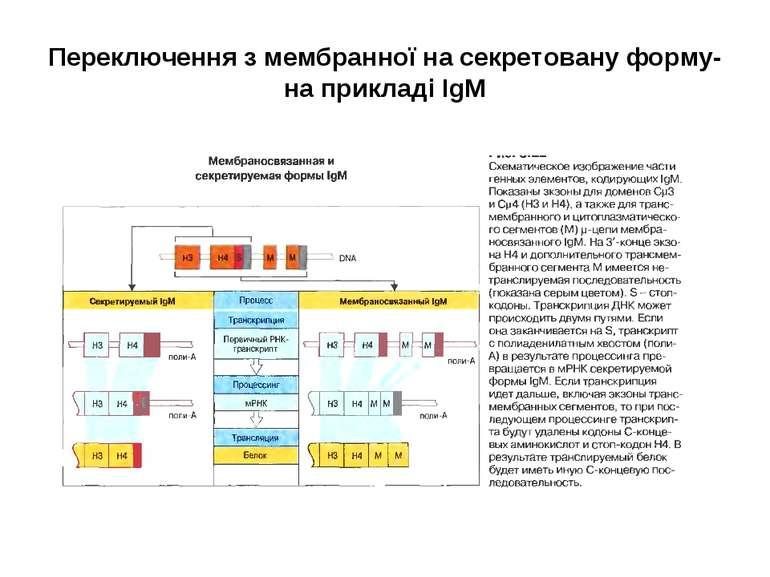 Переключення з мембранної на секретовану форму- на прикладі ІgМ