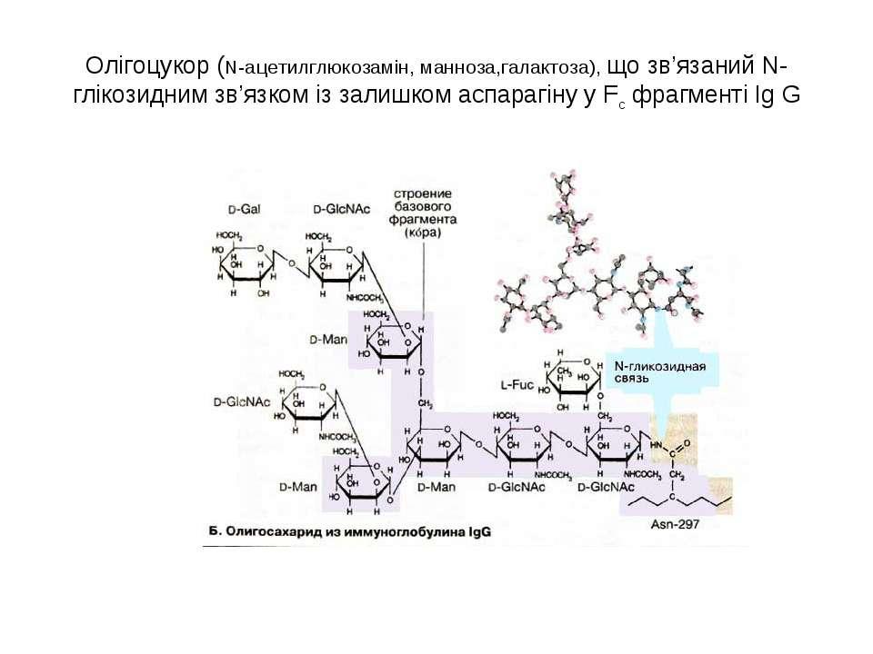 Олігоцукор (N-aцетилглюкозамін, манноза,галактоза), що зв'язаний N-глікозидни...