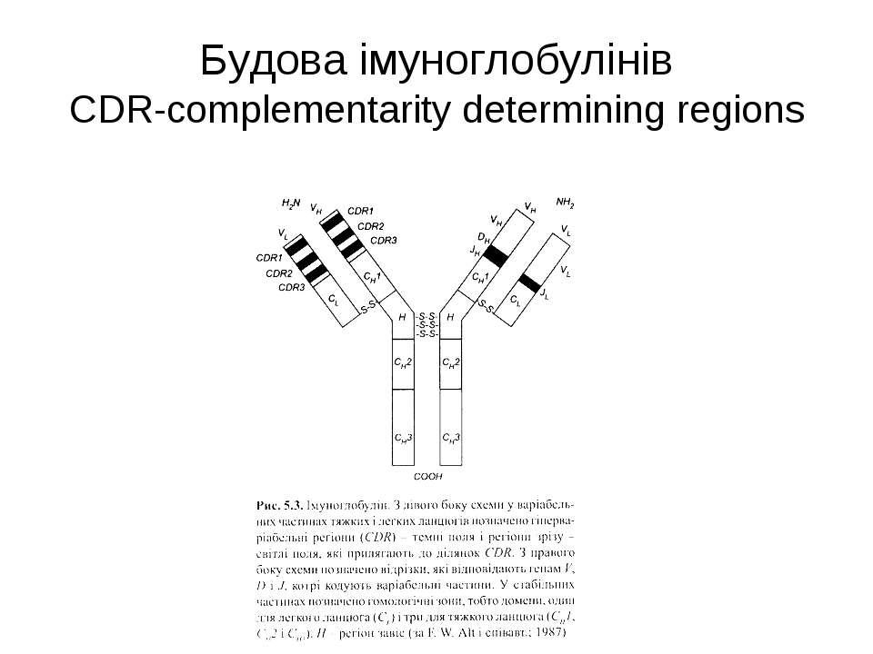 Будова імуноглобулінів CDR-complementarity determining regions