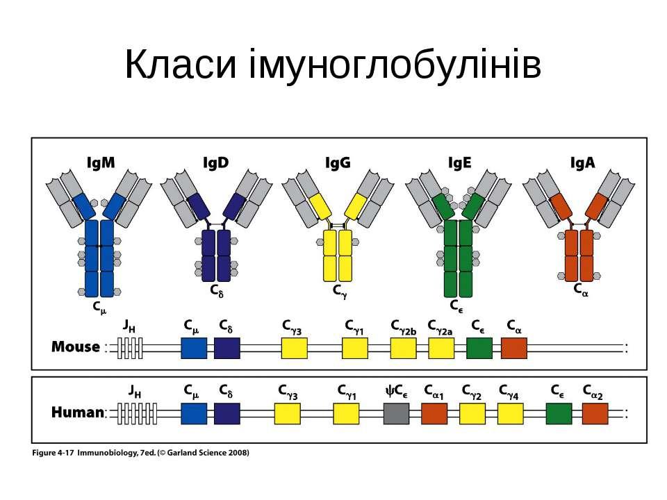 Класи імуноглобулінів