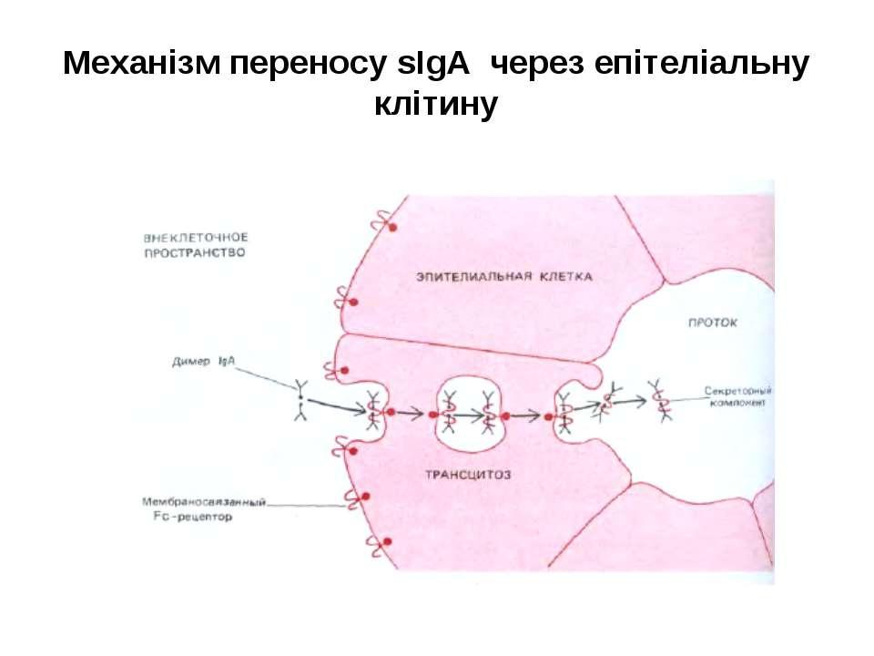 Механізм переносу sІgА через епітеліальну клітину