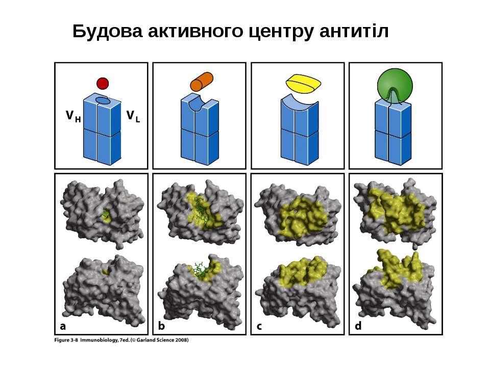 Будова активного центру антитіл