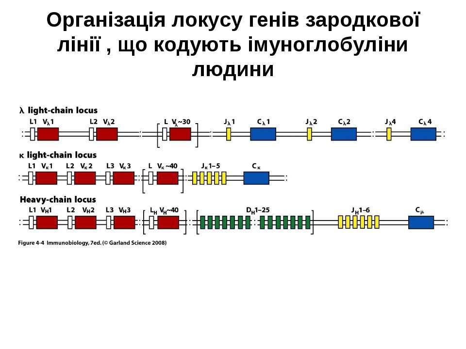 Організація локусу генів зародкової лінії , що кодують імуноглобуліни людини