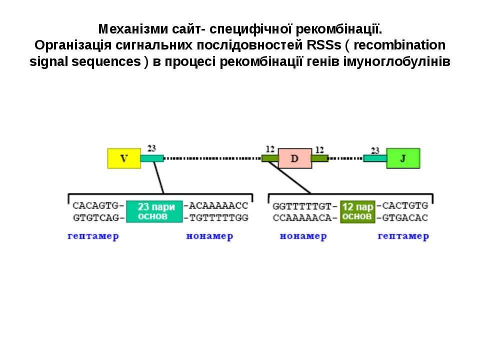 Механізми сайт- специфічної рекомбінації. Організація сигнальних послідовност...