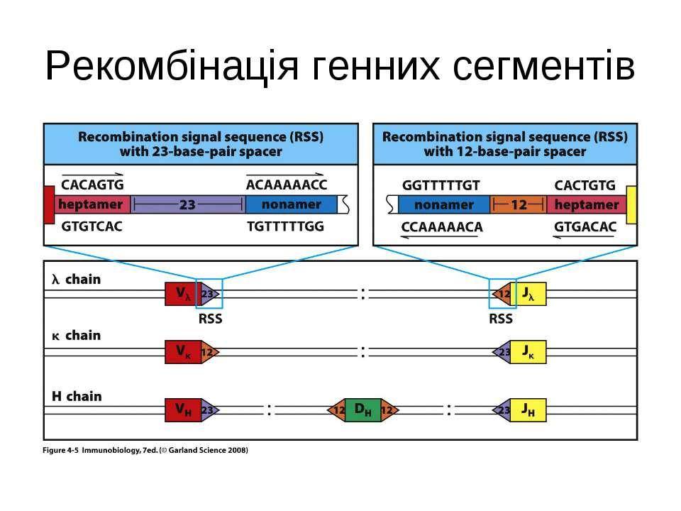 Рекомбінація генних сегментів