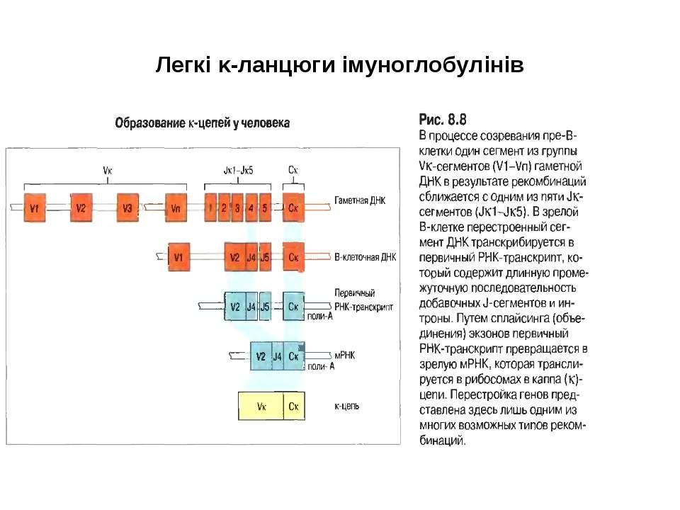 Легкі κ-ланцюги імуноглобулінів