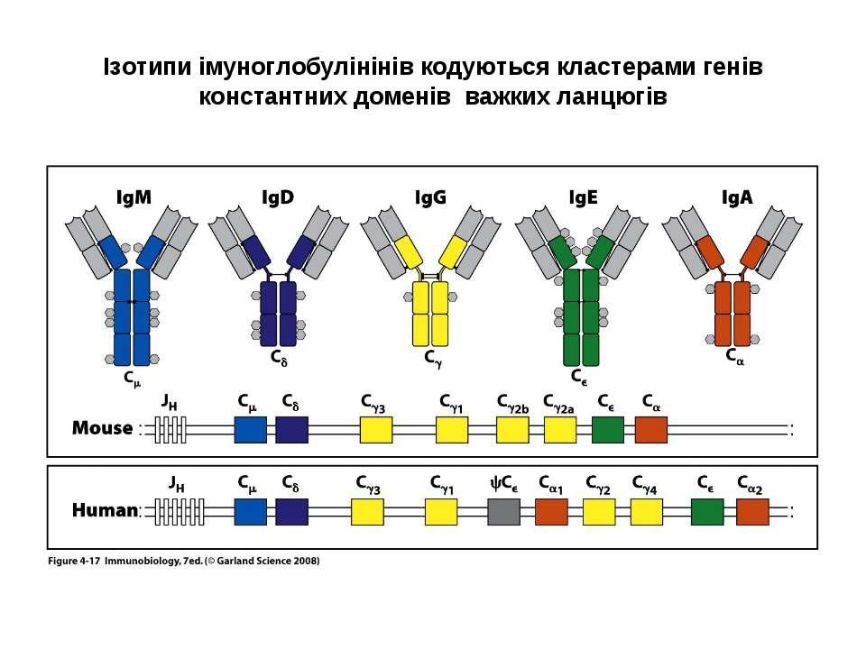 Ізотипи імуноглобулінінів кодуються кластерами генів константних доменів важк...