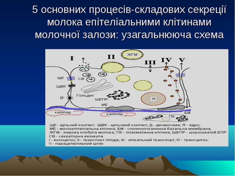 5 основних процесів-складових секреції молока епітеліальними клітинами молочн...