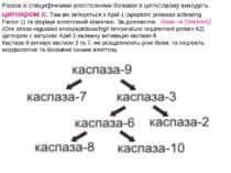 Разом зі специфічними апоптозними білками в цитоплазму виходить цитохром c. Т...