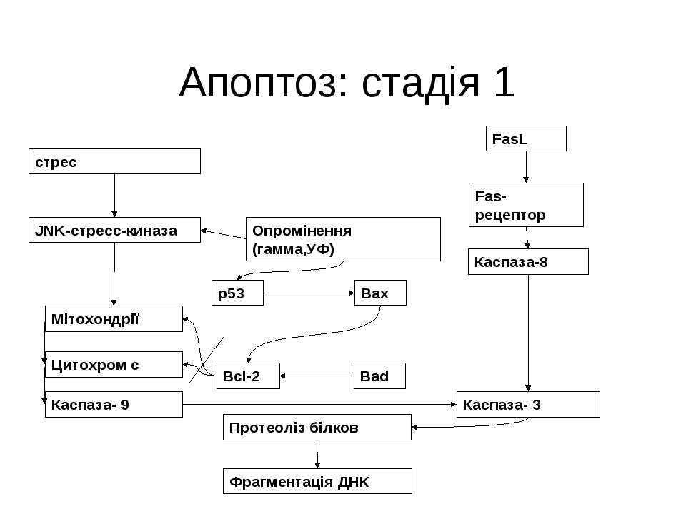 Апоптоз: стадія 1 стрес FasL Fas-рецептор Каспаза-8 JNK-стресс-киназа Опромін...
