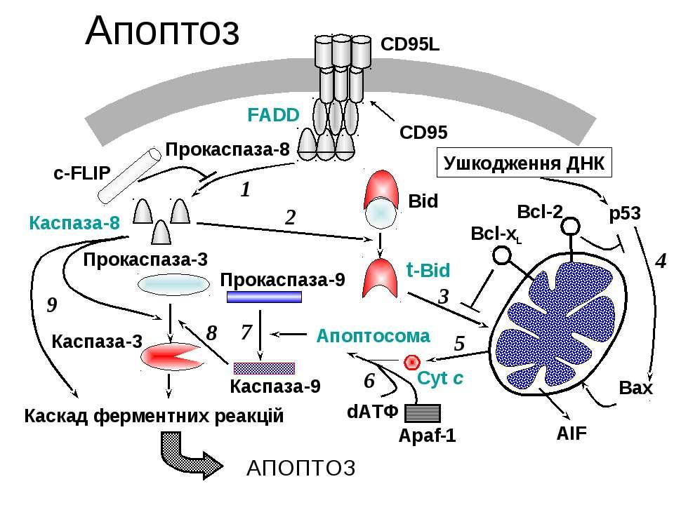 Апоптоз