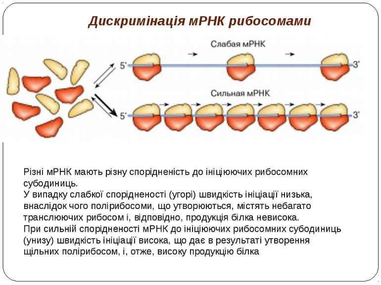 Дискримінація мРНК рибосомами Різні мРНК мають різну спорідненість до ініціюю...