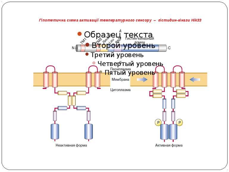 Гіпотетична схема активації температурного сенсору – гістидин-кінази Hik33 А ...