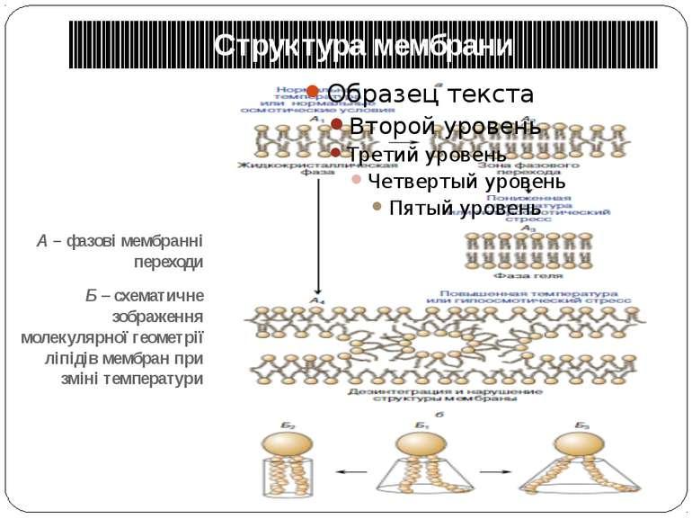Структура мембрани А – фазові мембранні переходи Б – схематичне зображення мо...