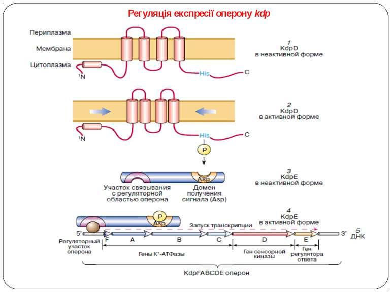 Регуляція експресії оперону kdp – сенсорная гистидин-киназа KdpD четырьмя тра...