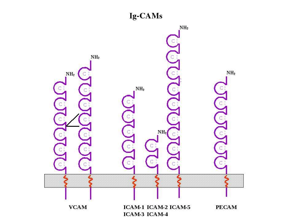 VCAM ICAM-1 ICAM-3 ICAM-2 ICAM-4 PECAM C C C C C C C C C C S S S S C C C C C ...