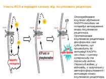 Участь ROS в передачі сигналу від інсулінового рецептора Опосередковане інсул...