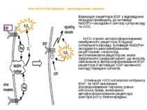 Роль ROS в EGF-рецептор – опосередкованих сигналах Взаємодія рецептора EGF з ...