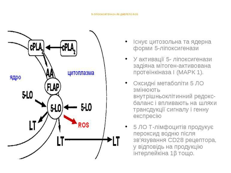 5-ЛІПООКСИГЕНАЗА ЯК ДЖЕРЕЛО ROS Існує цитозольна та ядерна форми 5-ліпоксиген...