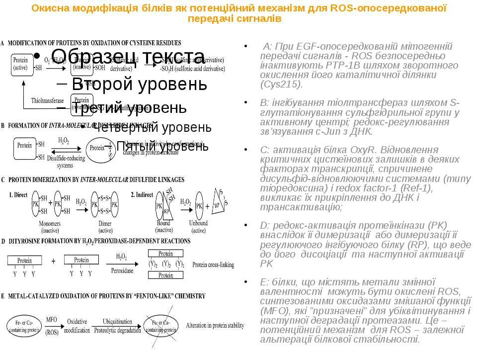 Окисна модифікація білків як потенційний механізм для ROS-опосередкованої пер...