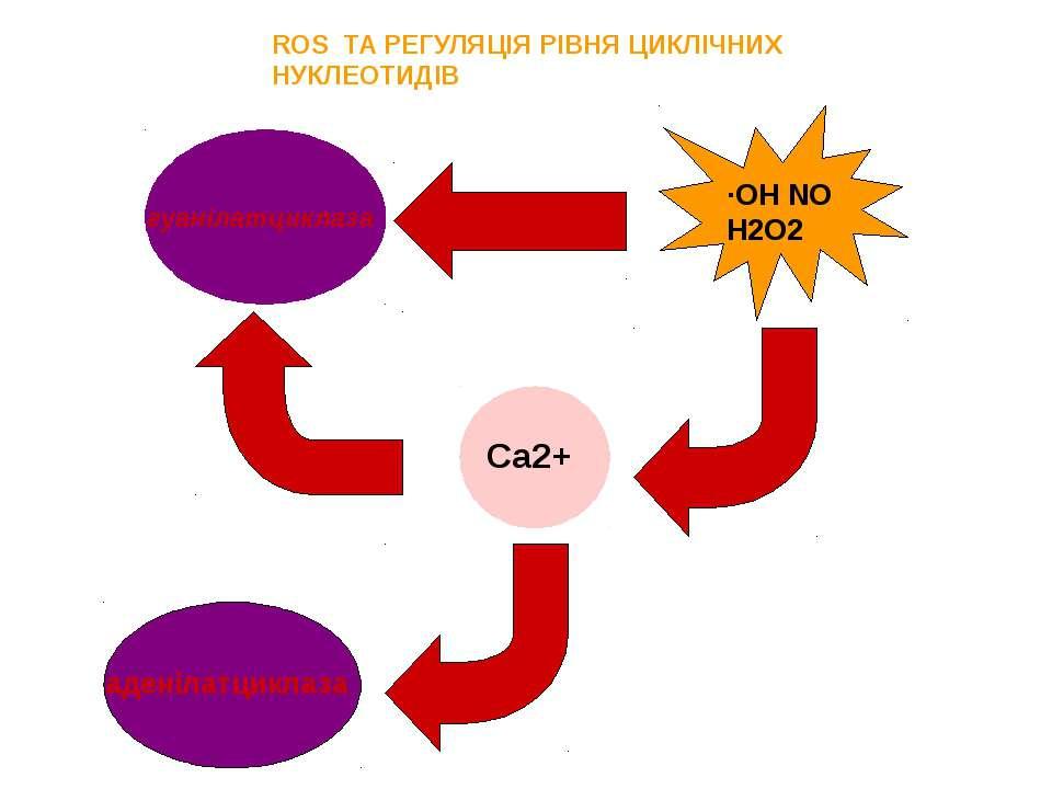 ROS ТА РЕГУЛЯЦІЯ РІВНЯ ЦИКЛІЧНИХ НУКЛЕОТИДІВ гуанілатциклаза ∙ОН NO Н2О2 Ca2+...
