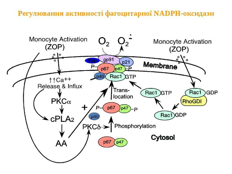 Регулювання активності фагоцитарної NADPH-оксидази Активація моноцитів Актива...
