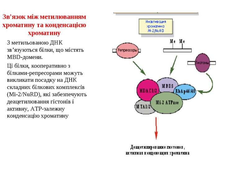 Зв'язок між метилюванням хроматину та конденсацією хроматину З метильованою Д...