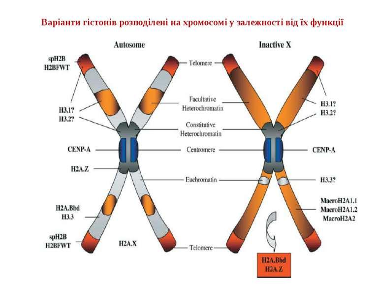 Варіанти гістонів розподілені на хромосомі у залежності від їх функції