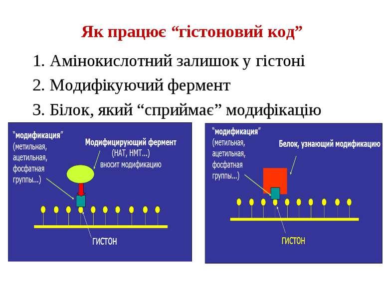 """Як працює """"гістоновий код"""" 1. Амінокислотний залишок у гістоні 2. Модифікуючи..."""