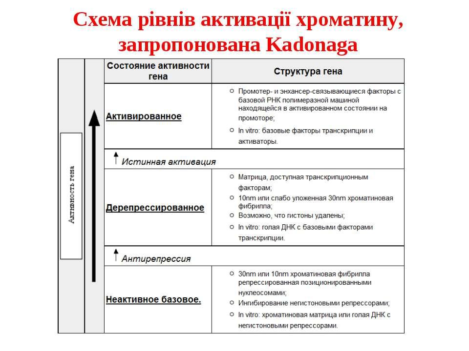 Схема рівнів активації хроматину, запропонована Kadonaga