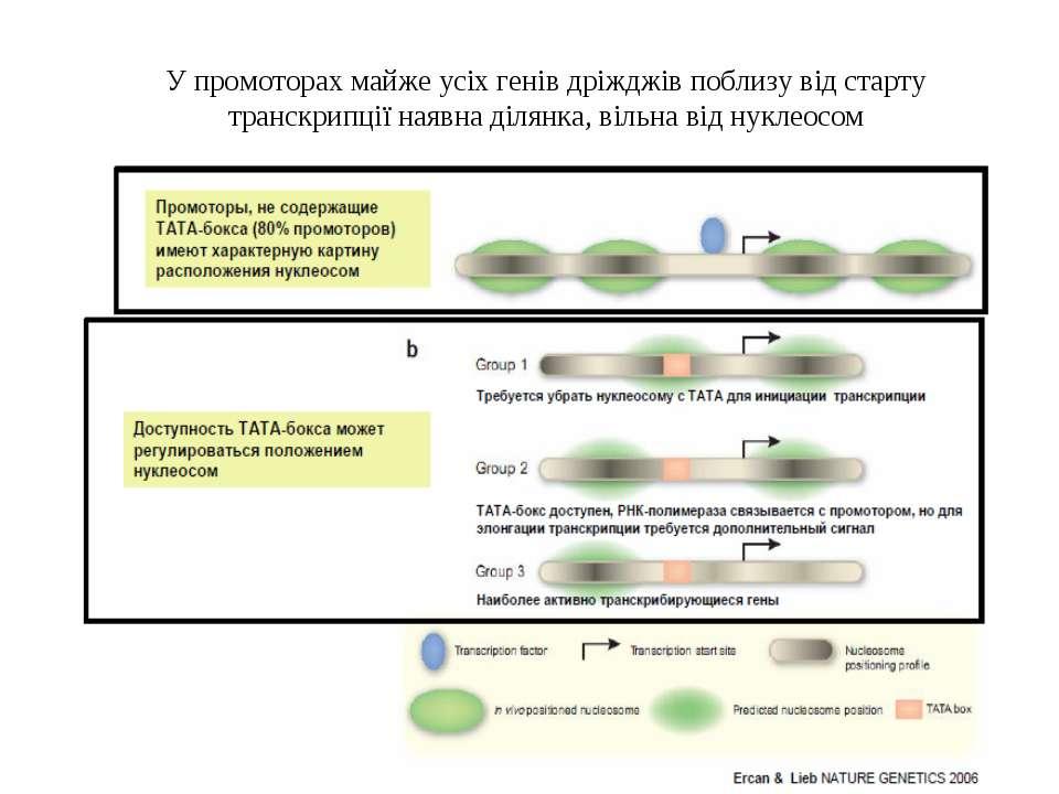 У промоторах майже усіх генів дріжджів поблизу від старту транскрипції наявна...