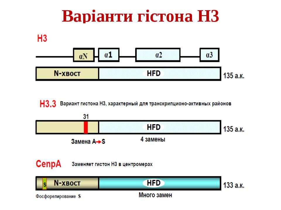 Варіанти гістона Н3
