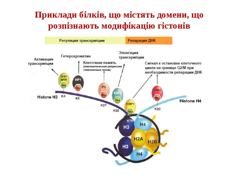 Приклади білків, що містять домени, що розпізнають модифікацію гістонів
