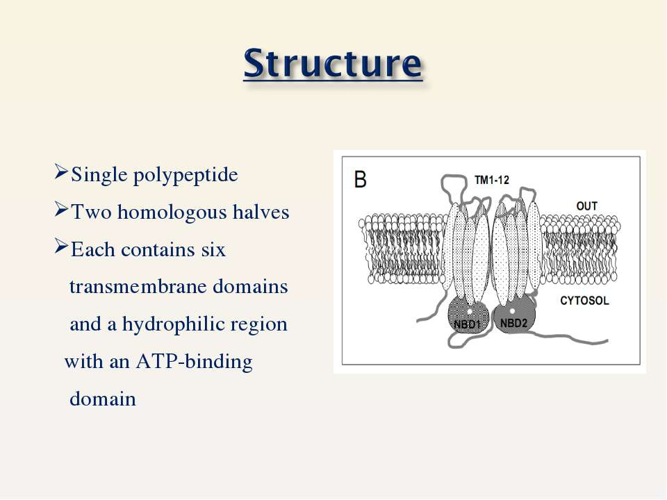 Single polypeptide Two homologous halves Each contains six transmembrane doma...