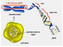 клітина хромосоми в ядрі ДНК хромосома 1 молекула ДНК