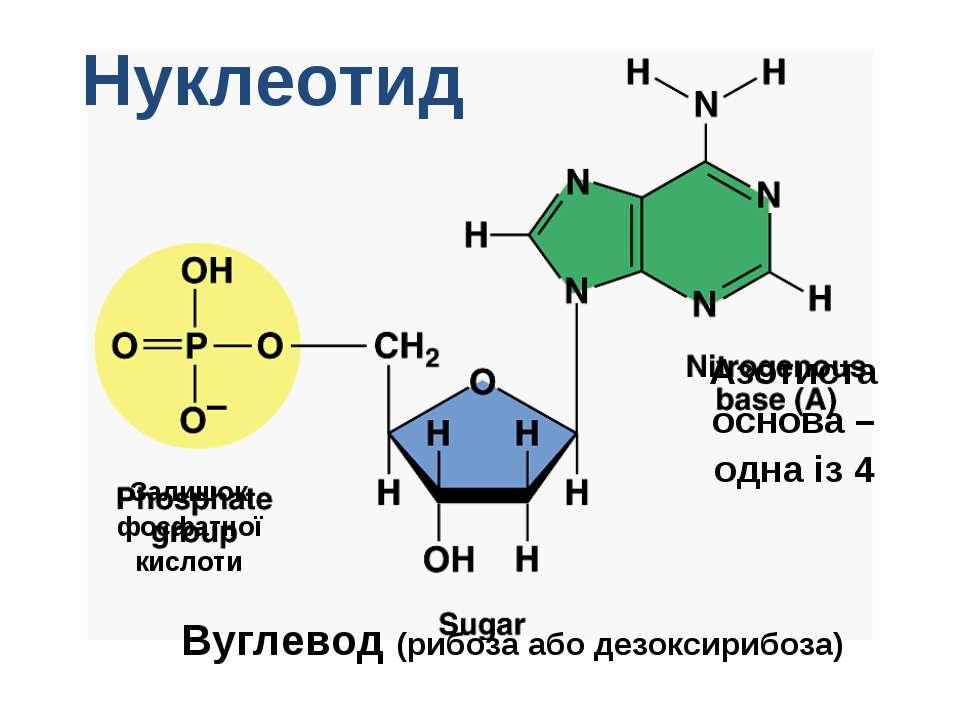 Нуклеотид Залишок фосфатної кислоти Вуглевод (рибоза або дезоксирибоза) Азоти...