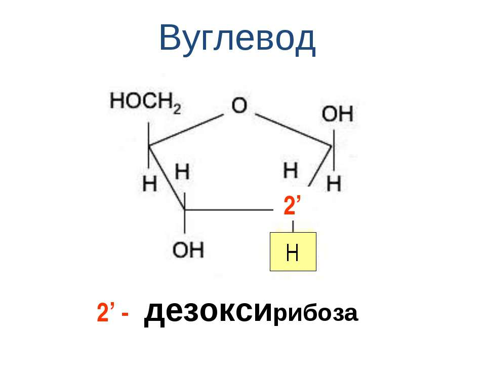 Вуглевод дезоксирибоза 2' H 2' -
