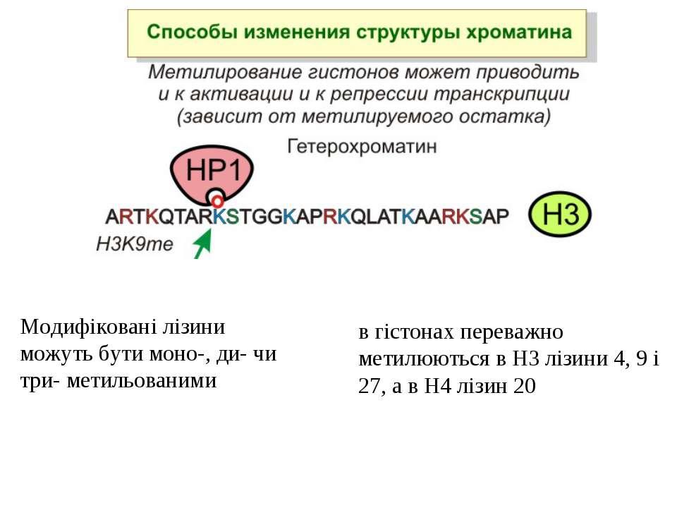 в гістонах переважно метилюються в H3 лізини 4, 9 і 27, а в H4 лізин 20 Модиф...