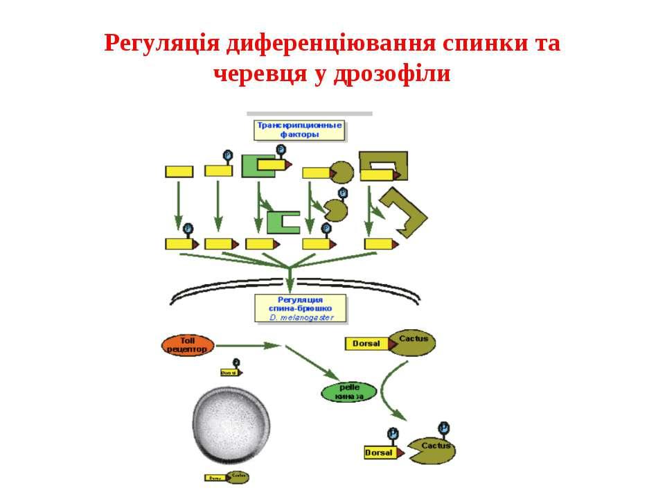 Регуляція диференціювання спинки та черевця у дрозофіли