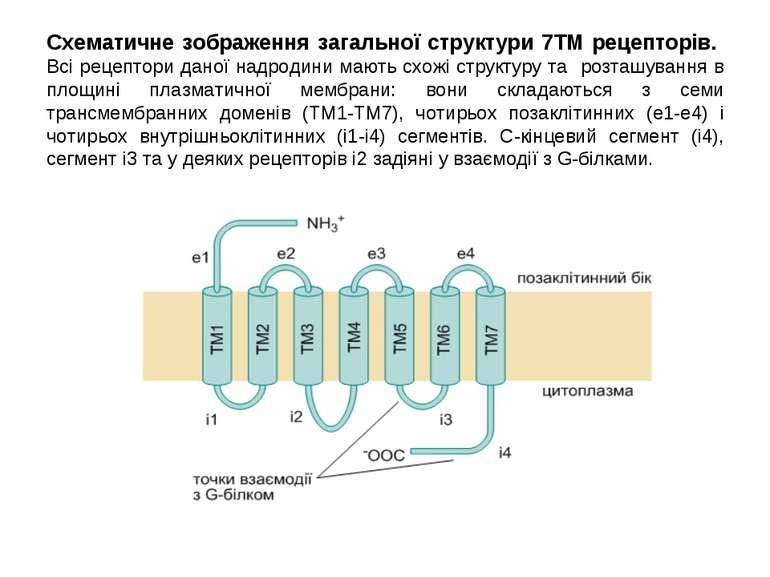 Схематичне зображення загальної структури 7ТМ рецепторів. Всі рецептори даної...