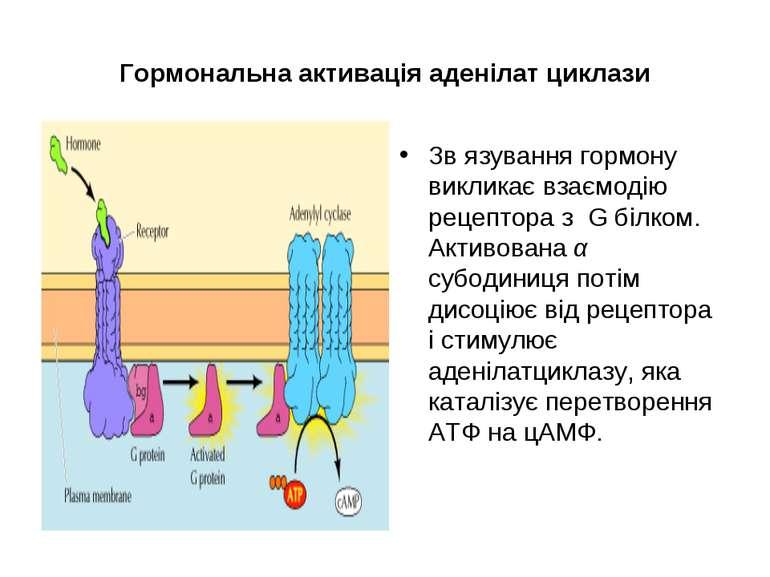Гормональна активація аденілат циклази Зв язування гормону викликає взаємодію...
